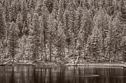Pine Forest Prints - Madison River Yellowstone BW Print by Steve Gadomski