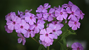 Phlox Photo Prints - Magenta Phlox Print by Teresa Mucha