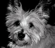 Cairn Terrier Photos - Maggie by Sharon Blanchard