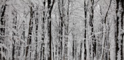 Wintry Photo Prints - Magic forest Print by Gabriela Insuratelu