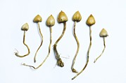 Magic Mushroom Prints - Magic Mushrooms (psilocybe Semilanceata) Print by Cordelia Molloy