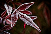 Red Leaves Photos - Magic of Frost by Wenata Babkowski