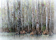 Cypress Trees Photos - Magical Bayou by Carol Groenen
