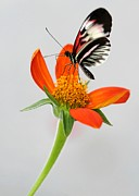 Florida Flowers Photos - Magical Butterfly by Sabrina L Ryan