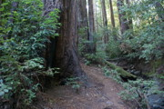 Tamalpais Posters - Magical Path Through the Redwoods on Mount Tamalpais Poster by Ben Upham
