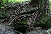 Tree Roots Prints - Magical Tree Roots Print by Chris Hill