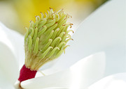 Vero Posters - Magnificant Magnolia Macro  Poster by Sabrina L Ryan