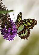 Gossamer Framed Prints - Magnificant Malachite Butterfly Framed Print by Sabrina L Ryan
