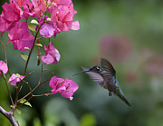 Feeding Birds Prints - Magnificent Hummingbird Female Feeding Print by Tim Fitzharris