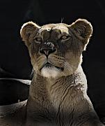 Cats Metal Prints - Magnificent lioness Metal Print by Sheila Smart