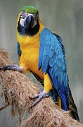 Blue And Gold Macaw Posters - Magnificent Macaw Poster by DigiArt Diaries by Vicky Browning