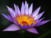 Waterlily Art - Magnificent Purple by Vijay Sharon Govender
