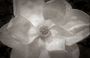 White Magnolias Posters - Magnolia 3 Poster by Rich Franco