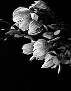State Flowers Framed Prints - Magnolia black and white Framed Print by Craig Perry-Ollila