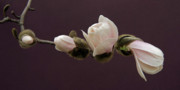 Floral Photographs Prints - Magnolia Blossoms Print by Michael Peychich