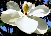 Summer Flowers Photos - Magnolia Carousel by Karen Wiles