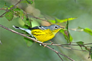 Magnolia Warbler Prints - Magnolia during Fall Print by Alan Lenk