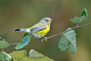 Magnolia Warbler Photos - Magnolia Fall Plumage by Alan Lenk