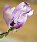 Flower Photos Posters - Magnolia flower Poster by Frank Tschakert
