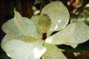 Magnolia Grande Print by Susanne Van Hulst