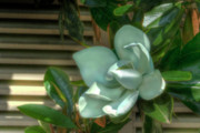 Magnolia Grandiflora Prints - Magnolia Grandiflora Print by Mark Richards