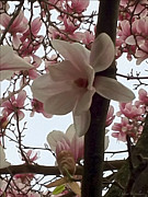 Stimulating  Colored Flower Prints - Magnolia Hang On Branch Print by Debra     Vatalaro