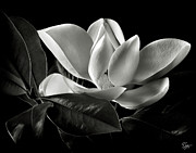 Black And White Flowers Posters - Magnolia in Black and White Poster by Endre Balogh