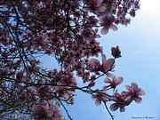 Ebsq Photo Prints - Magnolia in the Sky Print by Kimmary I MacLean