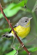 Magnolia Warbler Photos - Magnolia Warbler Cocks Head by Alan Lenk