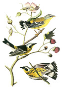 Warbler Paintings - Magnolia Warbler by John James Audubon