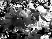 Photorealism Prints - Magnolias in Bloom Print by Rik  Bishop