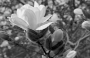 Mgp Photography Framed Prints - Magnolias in Spring Framed Print by Michael Peychich