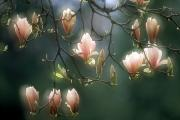 Blooms Art - Magnolias, Stanley Park, British by David Nunuk