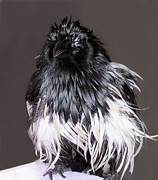 Magpies Tapestries Textiles - Magpie After a Bath by Lynne Dymond