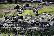 Magpies Photos - Magpie Geese in flight McMinn Lagoon by Douglas Barnard