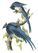 Magpie Paintings - Magpie Jay by John Onmes Audubon
