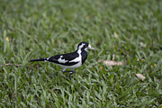 Magpies Framed Prints - Magpie lark Framed Print by Douglas Barnard
