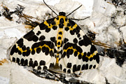 Deterrent Posters - Magpie Moth Poster by Dr Keith Wheeler