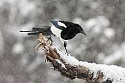 Falling Snow Posters - Magpie Out on A Branch Poster by Tim Grams