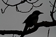 Pica Hudsonia Prints - Magpie Silhouette Print by Mitch Shindelbower