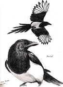 Magpies Drawings Metal Prints - Magpie Study Metal Print by Evan  Jenkins