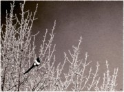 Magpie Photos - Magpie by Will Borden