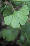 Tree Leaf Posters - Maidenhair Tree Leaf (ginkgo Biloba) Poster by Maxine Adcock