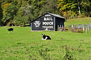Randolph County Prints - Mail Pouch Barn and Holsteins Print by Thomas R Fletcher