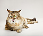 Attitude Photos - Maine Coon Cat Laying by Evan Kafka