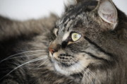 Maine Coon Cat Print by Mary-Lee Sanders