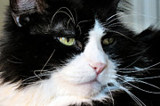 Witch Halloween Cat  Wicca Photos - Maine Coon Face by Michelle Milano
