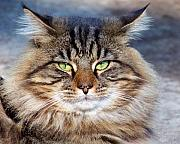 Green Eyes Photos - Maine Coon I by Jai Johnson