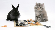 Animal Games Prints - Maine Coon Kitten And Black Rabbit Print by Mark Taylor
