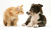 Mongrel Prints - Maine Coon Kitten And Mongrel Dog Print by Mark Taylor